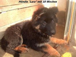 Foto 3 Langstockhaar (Altdeutsche) Schäferhund- Welpen m.P.