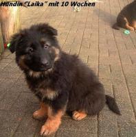 Foto 4 Langstockhaar (Altdeutsche) Schäferhund- Welpen m.P.