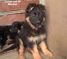 Foto 6 Langstockhaar (Altdeutsche) Schäferhund- Welpen m.P.
