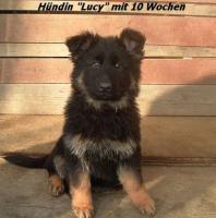 Foto 8 Langstockhaar (Altdeutsche) Schäferhund- Welpen m.P.