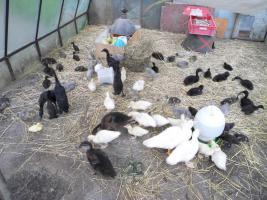 Foto 4 Laufenten Pekingenten Enten Flugenten K�ken K�cken Schneckenenten
