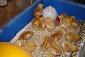 Foto 2 Lege Hühner Küken zu verkaufen!  Nach Geschlecht sortiert