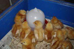 Lege Hühner Küken zu verkaufen!  Nach Geschlecht sortiert