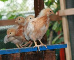 Lege Hühner Küken zu verkaufen!  Nach Geschlecht sortiert!