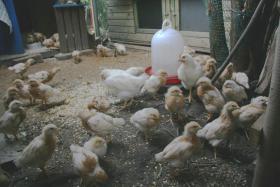 Foto 2 Lege Hühner Küken zu verkaufen!  Nach Geschlecht sortiert!