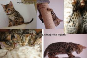 Lennox von Mützel - Bengal-Kater- !abgabebereit!
