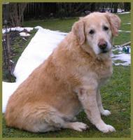 Foto 2 Lennox männlich 10 Jahre 58 cm 48 kg Golden Retriever kastriert gechipt