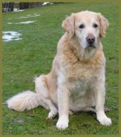 Foto 6 Lennox männlich 10 Jahre 58 cm 48 kg Golden Retriever kastriert gechipt