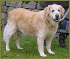 Foto 7 Lennox männlich 10 Jahre 58 cm 48 kg Golden Retriever kastriert gechipt