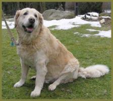 Foto 8 Lennox männlich 10 Jahre 58 cm 48 kg Golden Retriever kastriert gechipt