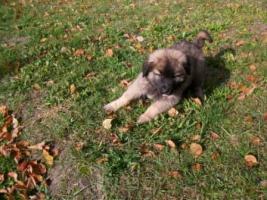 Foto 6 Leonberger-Welpe