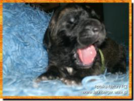 Foto 4 Leonberger Welpen !