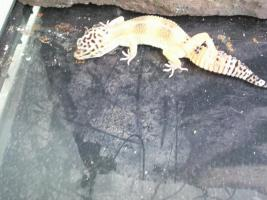 Foto 2 Leopard gecko nachzuchten 09 enigma etc. besonders schön