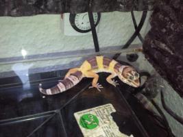 Foto 3 Leopard gecko nachzuchten 09 enigma etc. besonders schön