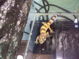 Foto 5 Leopard gecko nachzuchten 09 enigma etc. besonders schön