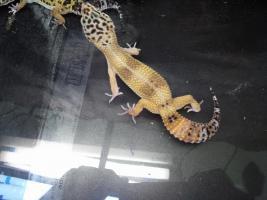 Foto 9 Leopard gecko nachzuchten 09 enigma etc. besonders schön