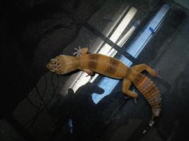 Foto 10 Leopard gecko nachzuchten 09 enigma etc. besonders schön