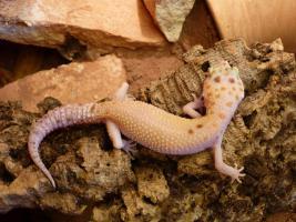 Leopardgecko Adult/ Subadult