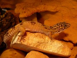 Foto 2 Leopardgecko Adult/ Subadult