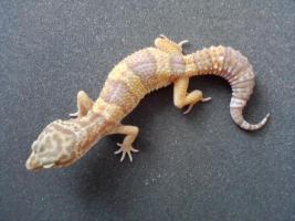 Foto 3 Leopardgecko Adult/ Subadult