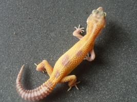 Foto 4 Leopardgecko Adult/ Subadult