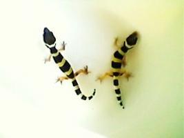Leopardgecko-Babys