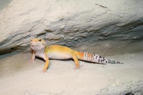 Leopardgecko aus Hobbyzucht