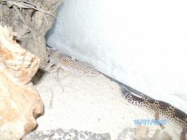 Foto 2 Leopardgecko Paar abzugeben!