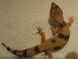 Foto 2 Leopardgecko nachzuchten