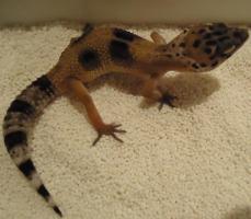 Foto 3 Leopardgecko nachzuchten