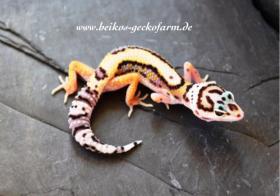 Foto 2 Leopardgeckos