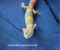 Foto 4 Leopardgeckos
