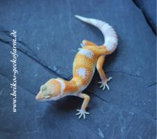 Foto 6 Leopardgeckos