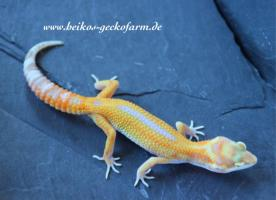 Foto 7 Leopardgeckos