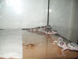 Foto 3 Leopardgeckos