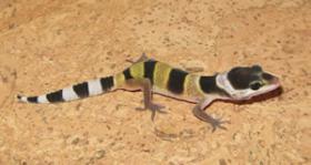 Leopardgeckos NZ10 abzugeben!