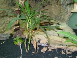 Leopardgeckos in gute Hände abzugeben