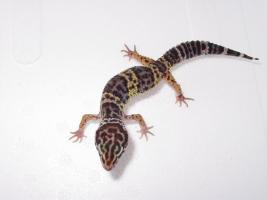 Foto 3 Leopardgeckos in gute Hände abzugeben