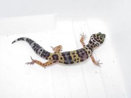 Foto 4 Leopardgeckos in gute Hände abzugeben
