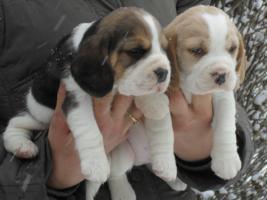 Foto 2 Letzte Möglichkeit vor Weihnachten!Bi und tricolor Beagle Welpen!