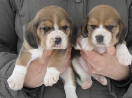 Foto 3 Letzte Möglichkeit vor Weihnachten!Bi und tricolor Beagle Welpen!
