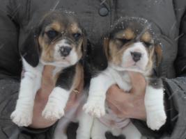Foto 4 Letzte Möglichkeit vor Weihnachten!Bi und tricolor Beagle Welpen!