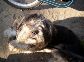 Lhasa Apso verspielt klein und Familienhund