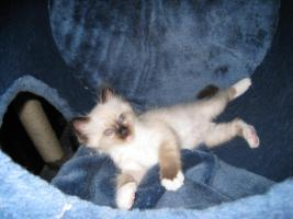 Liebe heilige Birma Kitten, Katze