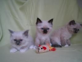 Foto 2 Liebe heilige Birma Kitten, Katze