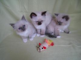 Foto 3 Liebe heilige Birma Kitten, Katze