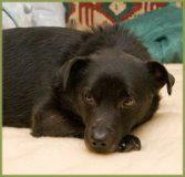Liebenswerter Hundebub! `Rockyboy` 2-3Jahre, 30 cm hoch, gechipt, Mix.