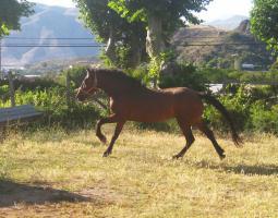 Foto 2 Lieber 7 jährige andalusier