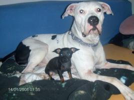 Lieber Dogo Argentino Hund