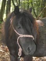 Lieber Pony Wallach sucht eine Reitbeteiligung.